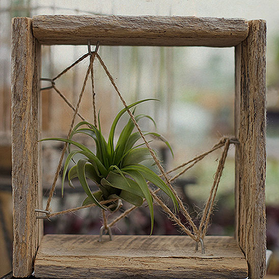 Air plants succulents cacti hoen 39 s garden center for Air plant wall art