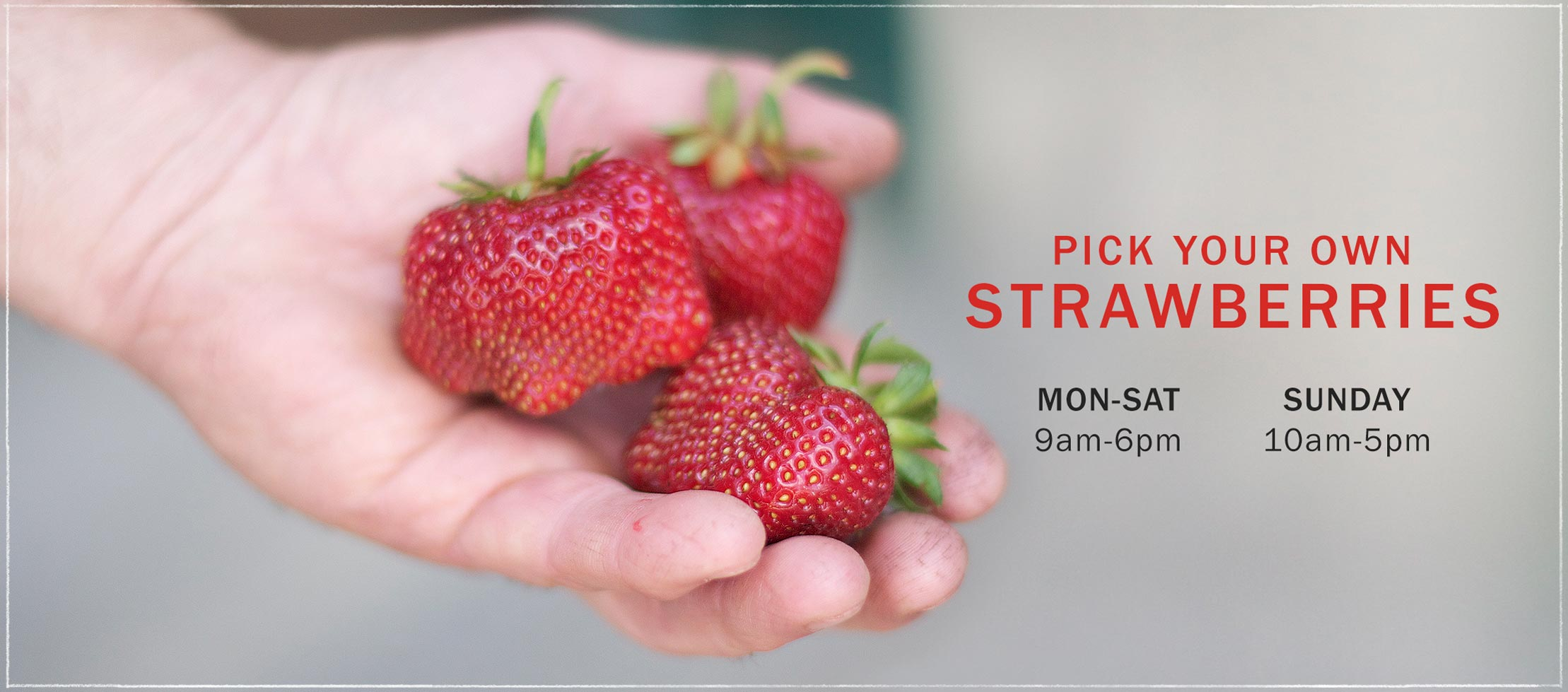 strawberries upick
