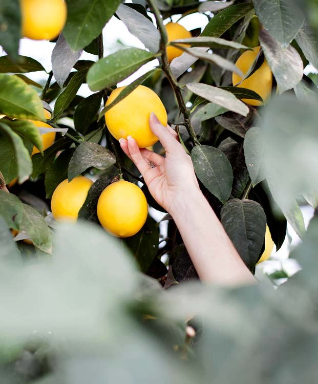 picking meyer lemons
