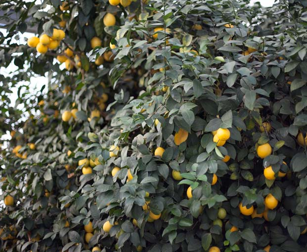 hoen's meyer lemon tree